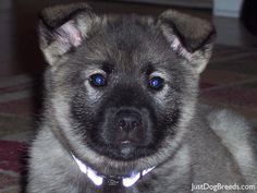 norwegian elkhound | Sacramento Sierra Norwegian Elkhound Club - (619x378 - 91kB)