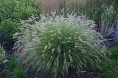 Pennisetum alopecuroides 'Piglet' 1GAL  ORNAMENTAL GRASS  Product ID POG00381G  $ 14.99