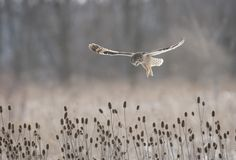 http://www.audubonmagazine.org/multimedia/2013-photo-awards-top-100  Short-eared owls. The raptors move up to Canada and Alaska during the summer months.