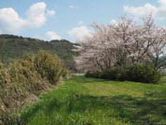 春の武庫川 堤防