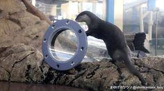 サンシャイン水族館 コツメカワウソ舎にパイプが設置されました 2015/12/28