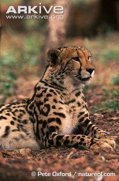 King cheetah lying down