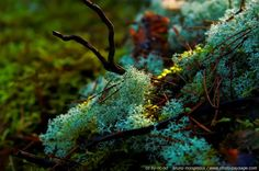 Lichen et mousse - Massif des Trois Pignons -01 - Forêt de Fontainebleau- foret des trois pignons Seine et Marne, France