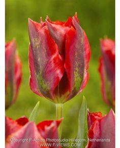 Tulip Hollywood