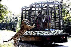 """David Chang/Efe """"Parque põe visitante em jaula, em vez de animais""""  http://click.uol.com.br/?rf=home2011-horizontal-fixo-3-fotos-2&u=http://f5.folha.uol.com.br/bichos/2015/01/1569812-em-parque-tematico-visitantes-ficam-enjaulados-para-alimentar-animais-veja.shtml"""