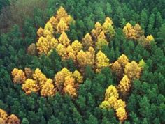 Remnants of 100 trees that made the Nazi symbol each fall