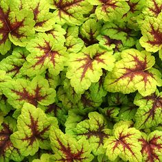 Heucherella: Heart-shaped leaves on clumping plants 5 inches tall and 1 foot wide come in many beautiful colors.