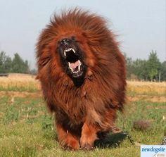 http://images.habervitrini.com/galeri/org/red_tibetan_mastiff_201123201611343778027.jpg