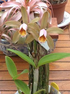 Cattleya forbesii, Brazilian orchid species