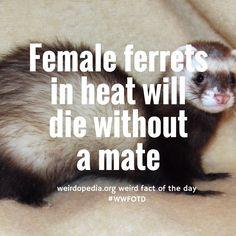 Another weird fact. No sex=lethal hormone levels. #WWFOTD #weird #fact #ferret #sex