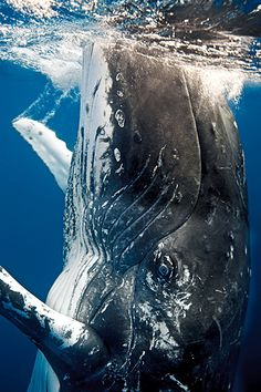 Humpback Whale season of 2013 in Hawaii begins! Words cannot quite describe these majestic mammals! Photo credit: Humpback Whale by By Rodger Klein. Beautiful Creatures, Animals Beautiful, Cute Animals, Beautiful Ocean, Baby Animals, Ocean Creatures, All Gods Creatures, Orcas, Whales
