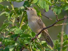 The common grasshopper warbler is a species of Old World warbler in the grass warbler genus Locustella. It breeds across much of temperate Europe and the western Palearctic. It is migratory, wintering in north and west Africa. Save Image, West Africa, Beautiful Birds, Photo Editor, Old World, Animals, Portugal, Denmark, Families