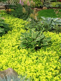 Shade planting, Hostas surrounded by creeping jenny