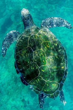 Pretty seaturtle