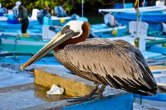Pelican trying to score some fish at the fishermen's counter in the Galapagos Islands