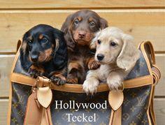 Accueil - Elevage d'Hollywood Teckel - eleveur de chiens Teckel poil long