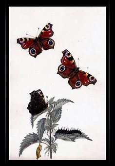 """Peacock Butterfly"" {Inachis io} by Katherine Plymley."