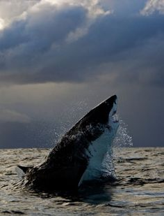 Great White Shark - Gorgeous creature!
