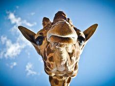 Photo/Oscar Medina. Lupe the giraffee at the Wameru Zoo in Queretaro, Mexico. So adorable.