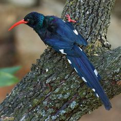 Green Wood hoopoe - a common resident breeder in the forests,woodlands & suburban gardens of most of Sub-Saharan Africa. It is found in groups of a dozen+ birds with only one breeding pair.The female lays2-4 blue eggs in a natural tree hole or old barbet nest & incubates them ~18 days. On hatching, she & the nestlings are fed by the rest of the group, even after they have fledged & left the nest hole.The group is fearless in defence of the nestlings..