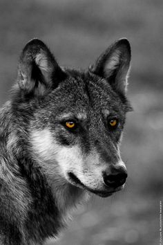 Wolf by Julian Slaughter on 500px. Wow, look at the charcoal color on this wolf. Gorgeous.