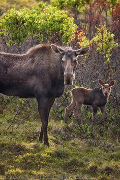 Mother moose and young calf in the willows, Denali National Park, Alaska.