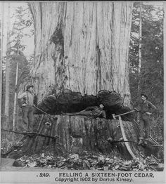Non-profit wants to clone the world's oldest trees to reforest the planet Earth Day 2013 - Archangel Ancient Tree Archive plans to clone these giant trees from America's century exploitation of the natural resources. Vintage Pictures, Old Pictures, Old Photos, Forest Pictures, Giant Tree, Big Tree, Tree Felling, Cedar Trees, Old Trees