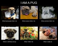 Pugs ~ pugaddict.com ~ Follow us on Facebook at http://www.facebook.com/pages/Pug-Addict/621471274575369