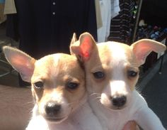 Puppies I saw at The College of the Desert Swap Meet...