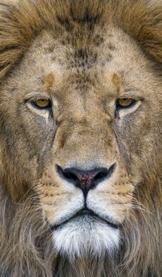 Louis in all his beauty! | I like the symmetry in this portrait of Louis the lion.