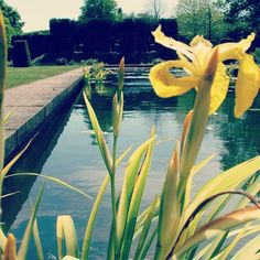 #yellow #lilly #flower next to a #pond in the #park #garden of #walmercastle #walmer #castle in #dover #kent #england #britain #uk