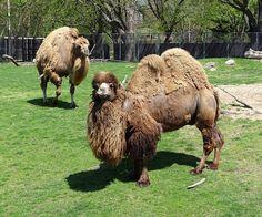 Detroit Zoo, Camel, Animals, Animales, Animaux, Camels, Animal, Animais, Bactrian Camel
