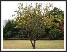 모과나무 - Google 검색