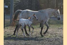 Mama and baby Appaloosa