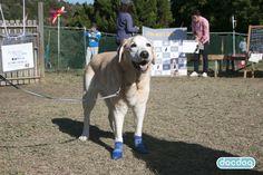 レトミートで試着! #ラブラドールレトリーバー #犬の靴下 #犬の靴 #ブルー #dogsoks #dogboots #docdog #SPORTPAWKS #スポーツパウクス #RCPetProducts #アールシーペットプロダクツ