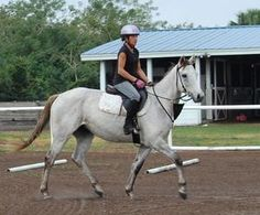 Mambo Dan is an adoptable Thoroughbred Horse in Indiantown, FL. Mambo Dan is a super cute four-year-old gelding that stands at about 15'2'' hands. He has a great brain and is very willing and honest. ...