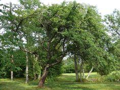 Metsäomenapuu, Malus sylvestris - Puut ja pensaat - LuontoPortti