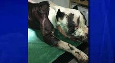 "A horribly injured pit bull is fighting for his life in Redmond, Ore., after being dragged behind a vehicle, reported Wednesday's KTVZ News.The dog, dubbed ""Chance,"" by his care provider"