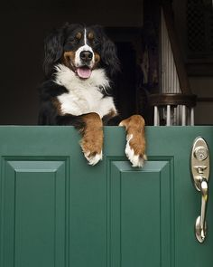 BERNESE MOUNTAIN DOG    WAZZZ UP