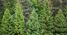 Conifer Confusion : An Identification Guide for Pine, Spruce, and Fir Trees Tree Id, Fir Tree, Conifer Trees, Evergreen Trees, Farm Pictures, Garden Pictures, Norway Landscape, Landscape Design, Myrtle Tree