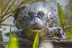 Caiman looking right at me by Tambako the Jaguar, via Flickr