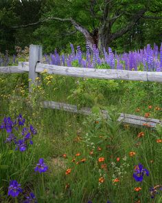 A patch of wildflowers found along a back road in Sugar Hill New Hampshire.