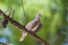 Turtle-dove (Streptopelia turtur), Croatia
