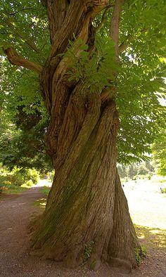 Sweet chestnut tree | Sweet Chestnut Tree-sm