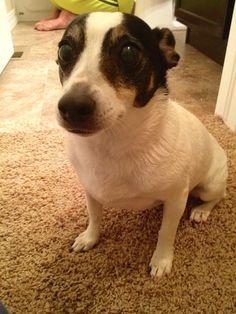 Sad face rat terrier :(