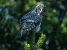 Great_Grey_Owl.jpg 2,560×1,920 pixels