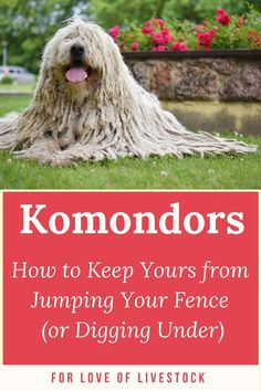 Komondors don't always stay where they're supposed to. Does your dog escape the yard? Check out this article to learn how you can modify your fence to prevent this, and for step-by-step instructions on how to train your dog to stay in the yard with positive methods. #Komondors #dogs #pets #dogescape #dogfence #dogtraining #jumping #digging #positivemethods Raising Farm Animals, Great Pyrenees Dog, Farm Dogs, Tibetan Mastiff, Anatolian Shepherd, Building A Fence, The Great Escape, Large Dog Breeds, Dog Fence
