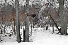The Great Grey Owl in his hunting action pose