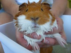 Not a joke, though. I once killed my guinea  pig by taking it in the pool with me.... don't give four year olds pets...