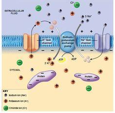 Neuron Function: Resting Membrane Potential